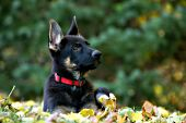 German shepherd puppy in autumn foliage