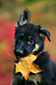 German shepherd puppy with a maple leaf in her mouth