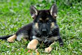 German shepherd puppy in a meadow