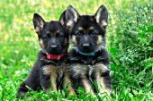 Pair of German shepherd puppies in a meadow