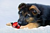 Shepherd puppy playing with an ornament in snow