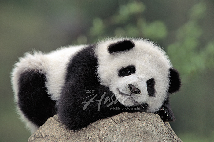 Panda cub resting on top of an old tree