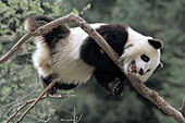 Adolescent panda stretched out in a tree