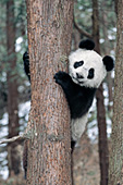 Adolescent panda climbing a fir tree