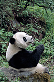 Adult panda leaning up against a boulder