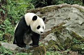 Adult panda standing on a large boulder