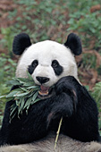 Adult panda using its tongue to eat bamboo leaves