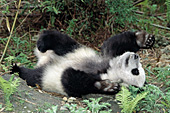 Adolescent panda rolling on its back