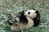 Adolescent panda using its back feet to manipulate bamboo
