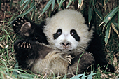 Little panda cub tumbling in a grove of bamboo