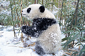 Panda cub playing with bamboo in the snow
