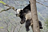 Adult panda relaxing in a tree