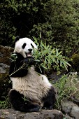 Adolescent panda eating bamboo