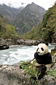 Panda eating bamboo by the Pitiao River