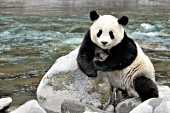 Panda at the Pitiao River