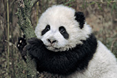 Panda cub leaning against a small tree