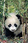 Panda cub in a bamboo grove