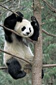 Adult panda in a tree