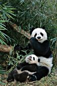 Panda mom & cub in a bamboo forest