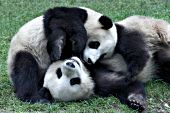 Juvenile pandas wrestling in the grass