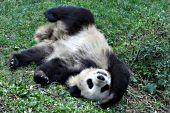 Juvenile panda rolling down a hillside