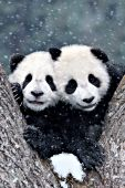 Twin panda cubs in the fork of a tree during a snowstorm