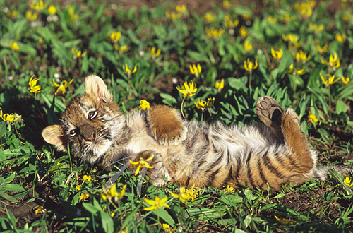 Tiger cub playing in a field of flowers *