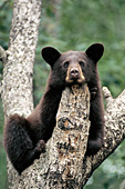 Brown cub resting its head on a branch