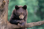 Black bear yearling (cinnamon phase)