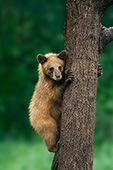 Cinnamon black bear clinging to a tree