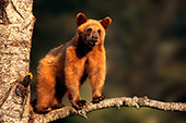 Cinnamon yearling bear in a tree (spring)
