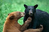 Sparring black bears (cinnamon & black phases)