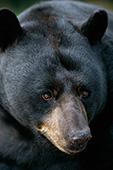 Large boar black bear