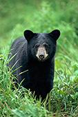 Black bear yearling walking through grass
