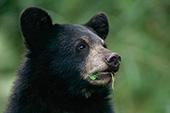 Black bear cub grazing on vegetation