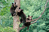 3 sibling black bear cubs climbing a tree