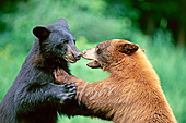 Black and cinnamon phased bears sparring