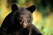 Adolescent black bear