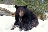 Fat yearling bear ready for hibernation