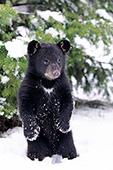 Black bear cub playing in snow