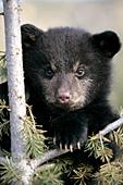 Bear cub in a tree
