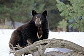 Black bear in snow