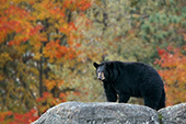 Black bear standing on a rock ledge (autumn)