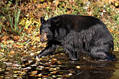 Black bear wading in a pond (autumn)