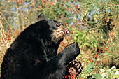 Black bear eating red berries (autumn)