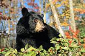 Black bear near a berry bush (autumn)