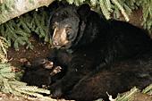 Black bear mom & 10 week-old cub in their den