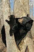 Black bear mom & her 10 week-old cub in a tree