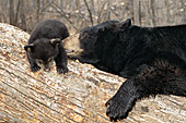Black bear mom nuzzling her 10 week-old cub