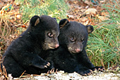Twin bear cubs playing outside the den